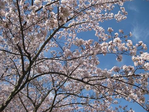 満開の桜や